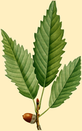 NAS-010g Quercus muehlenbergii.png