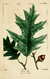 NAS-026 Quercus rubra.png