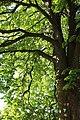 ND-7331-392 Kastanie Friedhof Bornheim-IMG 8205.jpg