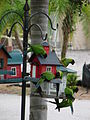 Nandayus nenday -USA -bird feeders-8.jpg