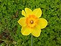 Narciso giallo.jpg