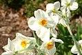 Narcissus Cragford 0zz.jpg