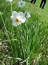 Narcissus poeticus (Habitus)