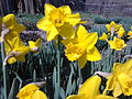 Narcissus pseudonarcissus - 1002.jpg