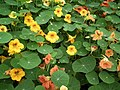 Nasturtium from Lalbagh flower show Aug 2013 7989.JPG