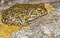 Natterjack Toad (Epidalea calamita) (40768303714).jpg