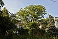 Naturdenkmal 407 Gleditschie.JPG