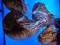 Nautilus pompilius.007 - Aquarium Finisterrae.JPG