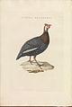 Nederlandsche vogelen (KB) - Numida meleagris (454b).jpg
