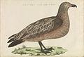 Nederlandsche vogelen (KB) - Stercorarius skua (448b).jpg