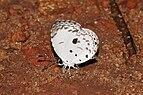 Neopithecops zalmora 02698.jpg