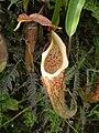 Nepenthes maxima Sulawesi4.jpg