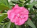 Nerium oleander20110518 03.jpg