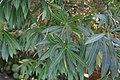 Nerium oleander 7 2018-06-17.JPG