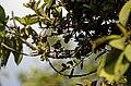 Nilgiri Flowerpecker Dicaeum concolor from Anaimalai hills Western Ghats JEG4457.jpg