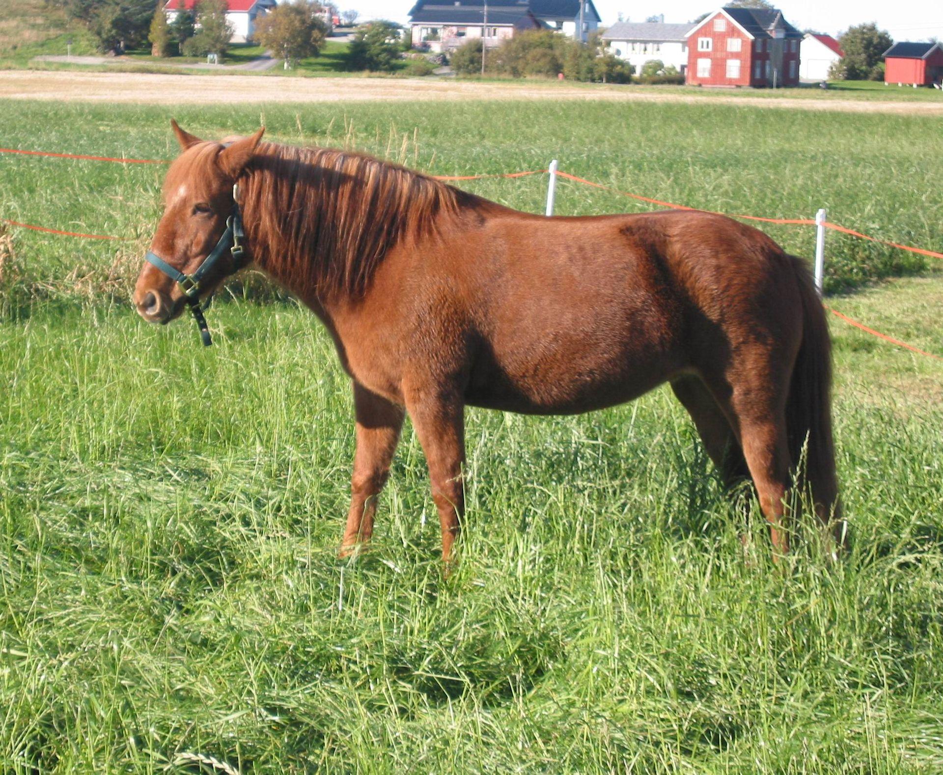 Nordlandshest/Lyngshest - Horse Scanner