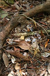 Small collection of broken snail shells next to large root on leafy forest floor