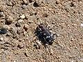 Northern Dune Tiger Beetle (Cicindela hybrida) (8345468555).jpg
