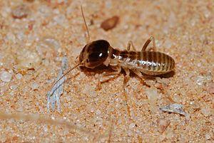 Hodotermitidae - H. mossambicus worker