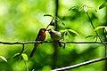 Northern cardinal (41419803814).jpg