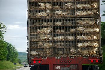 Chickens being transported in trucks, presumab...