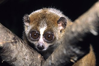 Duke Lemur Center - A pygmy slow loris at the Duke Lemur Center