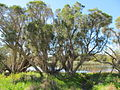 OIC carine lake carine wetland vegetation 2.jpg