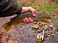 Oatka Creek brown trout.jpg
