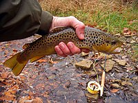 A live dark yellow and silver fish mottled with black, brown and yellow spots held in a human left hand. On the half-wet ground behind it is a fly-fishing rod