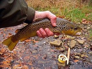 Oatka Creek - Image: Oatka Creek brown trout