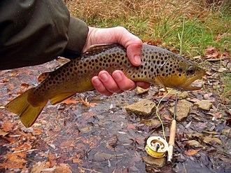 Oatka Creek - A brown trout taken from the Oatka