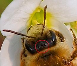 Honingbij Wikipedia