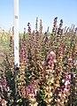 Ocimum basilicum Васильки справжні фіолетові - перед достиганням насіння.jpg