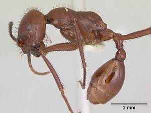 Ocymyrmex ankhu