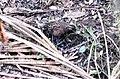 Odontophorus guttatus.jpg
