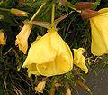 Oenothera glazioviana 06 ies.jpg