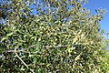 Olea europaea subsp. cuspidata (Olea africana) - Jardín Botánico de Barcelona - Barcelona, Spain - DSC09253.JPG
