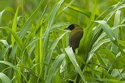 Olive-crowned Yellowthroat - Sarapiqui - Costa Rica S4E0508 (26434942700).jpg