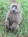 Olive Baboon in Lake Nakuru National Park.JPG