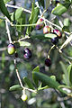 Olives (CAILLETIER) CL. J Weber (2) (22780333849).jpg