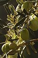 Olives (UOVO PICCIONE) Cl J Weber (5) (23122182266).jpg
