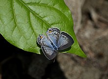 Open wing position of Catochrysops panormus Felder, 1860 – Silver Forget-me-not.jpg
