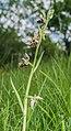 Ophrys × nouletii 07.jpg