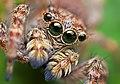 Opo Terser - Sitticus fasciger Jumping Spider (by).jpg