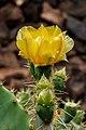 Opuntia hyptiacantha 02.jpg
