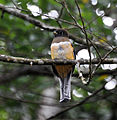 Orange-bellied Trogon (6901497400).jpg
