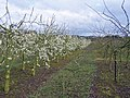 Orchard in flower - geograph.org.uk - 733414.jpg