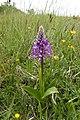 Orchidee an der Aschenburg 001.jpg