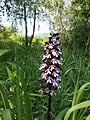 Orchis purpurea sl21.jpg