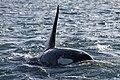 Orcinus orca (8619054013).jpg
